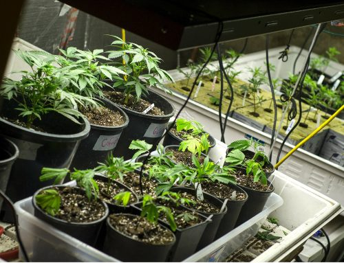 This Is How You Grow Marijuana At Home